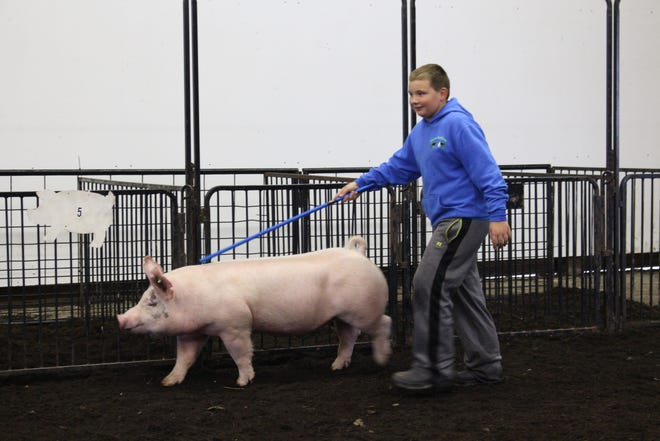 Hunter Rehm, 10, of Orrville practices with his barrow pig, Lightning, at the Richland County Fairgrounds on Sunday. Lightning was one of nearly 400 pigs moved from the Wayne County Fairgrounds to the Richland County Fairgrounds on Saturday because of a looming flooding threat.