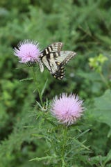A butterfly lands on a thistle plant at Larkspur Conservation at Taylor Hollow. It is a natural burial ground protecting 112 acres of land in Sumner County. The Nashville-based nonprofit that oversees the project promotes natural burial by creating nature preserves where the burials can occur.