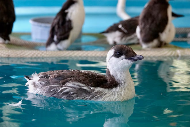 Common Murres undergo rehabilitation at the Wildlife Center of the North Coast. The birds have washed on shore, starving and in need of critical care.