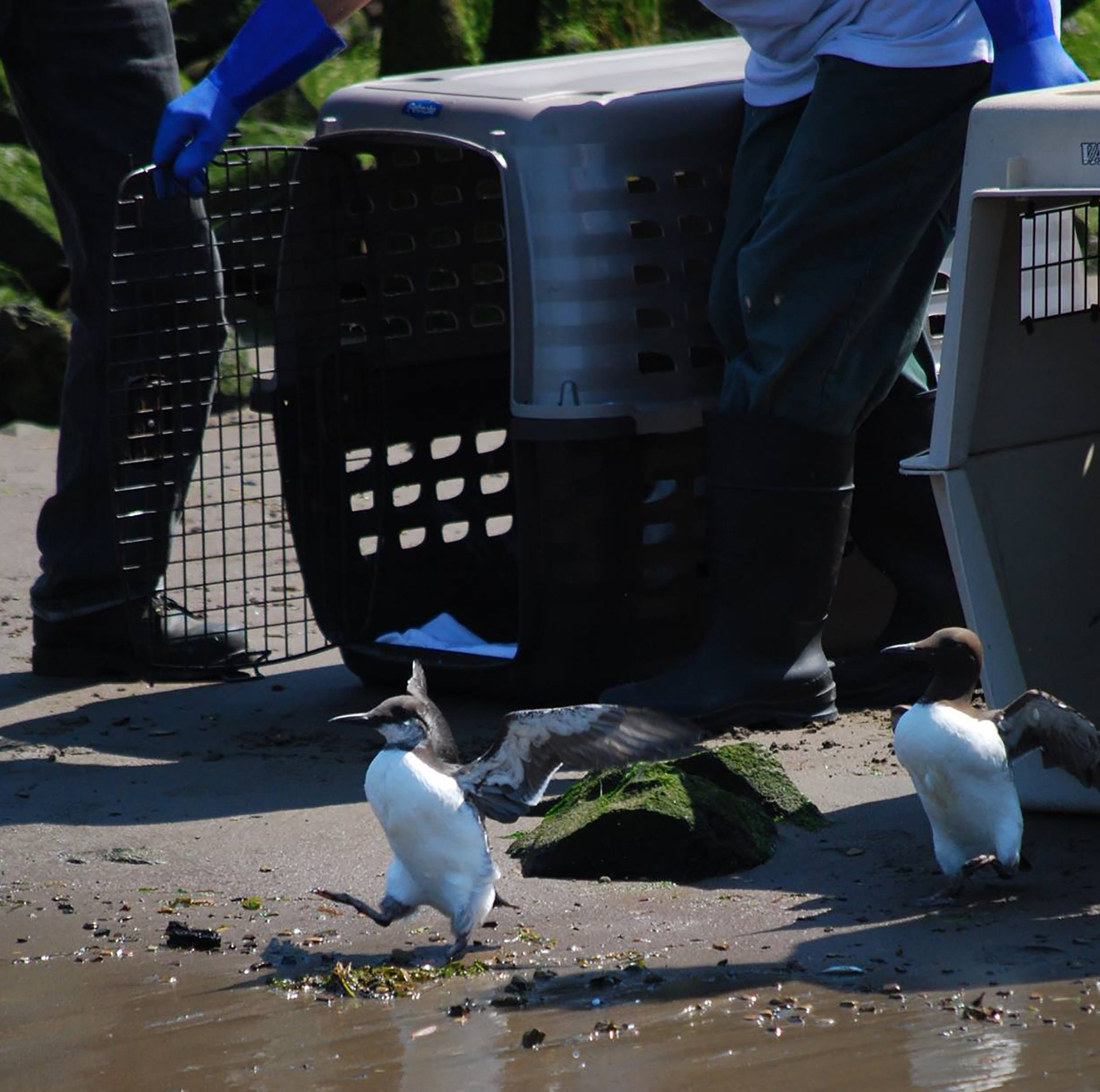 High number of seabird chicks washing up on Oregon beaches