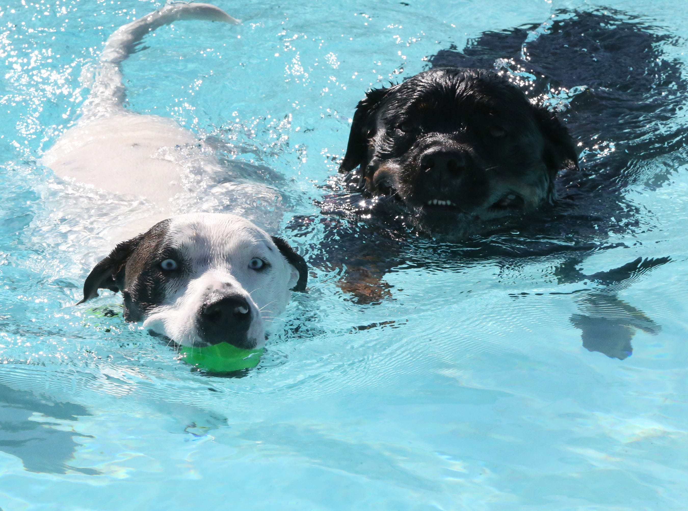 Dogs enjoying a dip in the pool Sunday at Nations Tobin Aquatic Center.