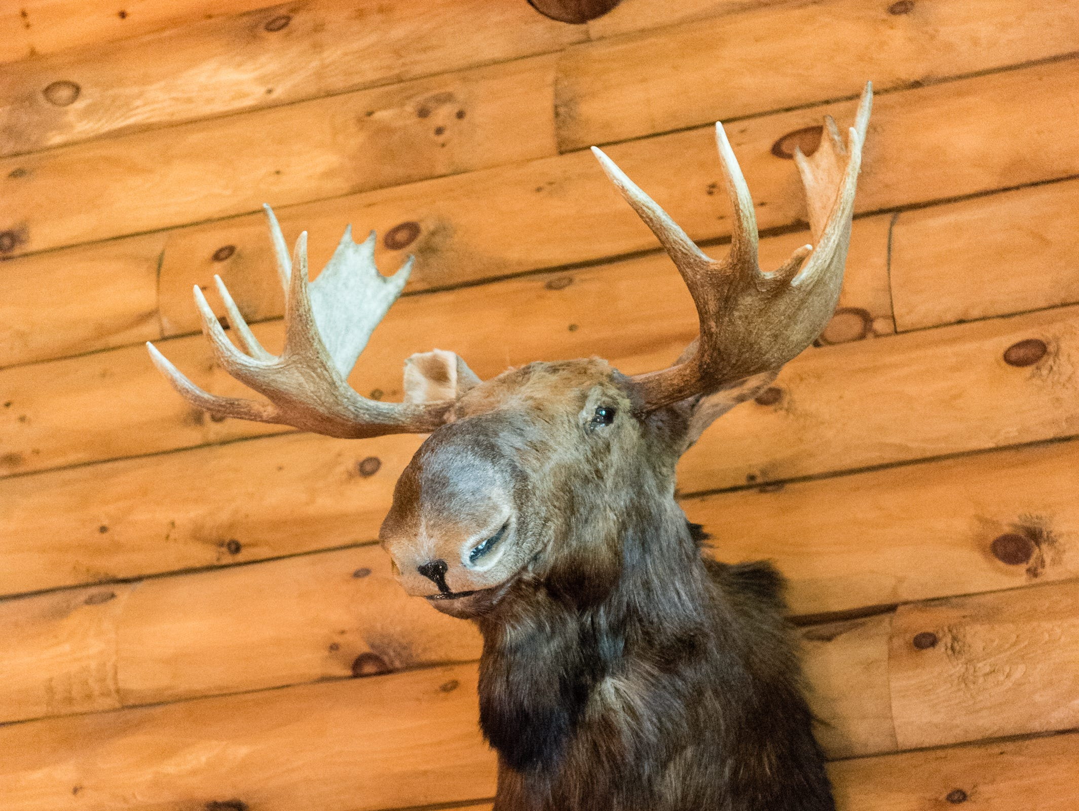 A mounted moose head in Dan and Belle Fangmeyer's log cabin in Waynesville.