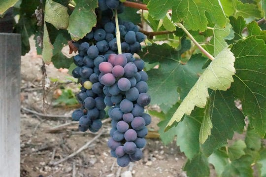 A cluster of grapes dangle from the vines at Treana Winery in Paso Robles, California.