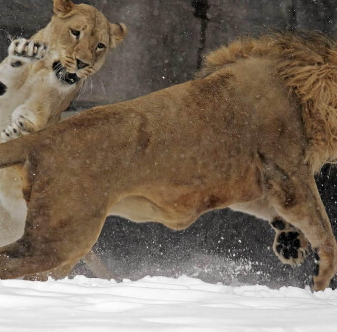 Sanura, Milwaukee County Zoo's African lioness, euthanized for health reasons
