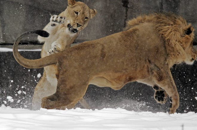 With March weather roaring in like a lion, Sanura (left) frolics in the snow with Themba Friday, March 2, 2007 at the Milwaukee County Zoo in Wauwatosa, Wis.
