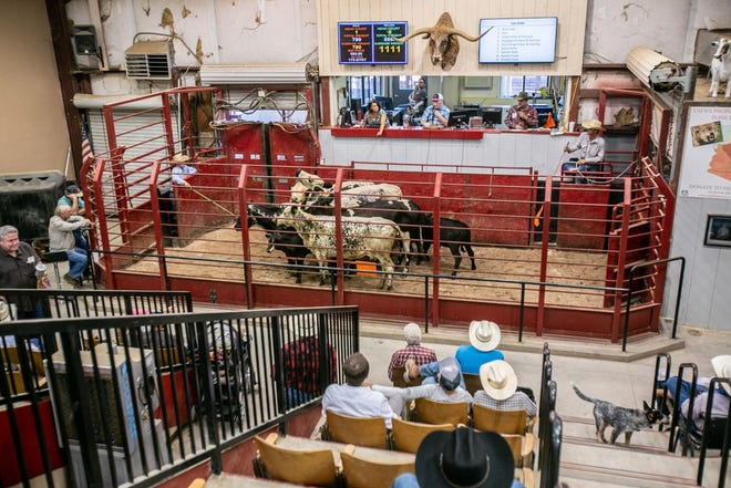 Cattle are prepared for auction at the Marana Stockyards and Livestock Market.