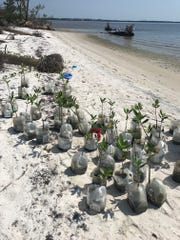 Year-old mangroves delivered by the River Scout and planted by the ESC camp W.E.T.  fifth graders.
