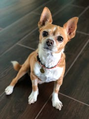 Stanley, a Chihuahua mix owned by Diane Arasa of Stuart apparently got seriously ill after getting into the St. Lucie River near Arasa's home.