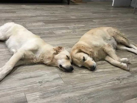 Savvy (left) and Sammy are golden retrievers owned by Rob and Karin Torsiello of Palm City that apparently became seriously ill after getting in the St. Lucie River.