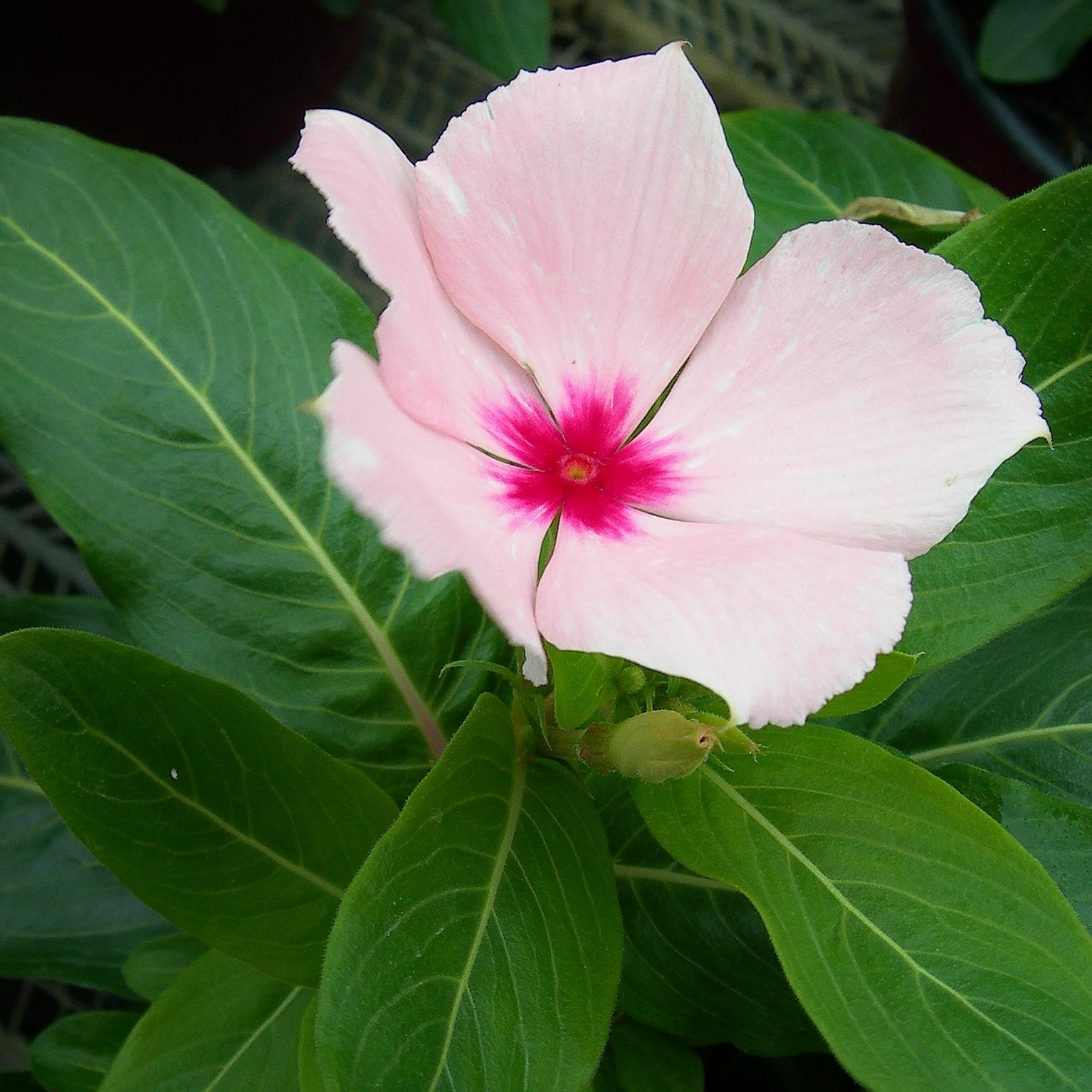 Madagascar periwinkle historically used to treat wide variety of diseases