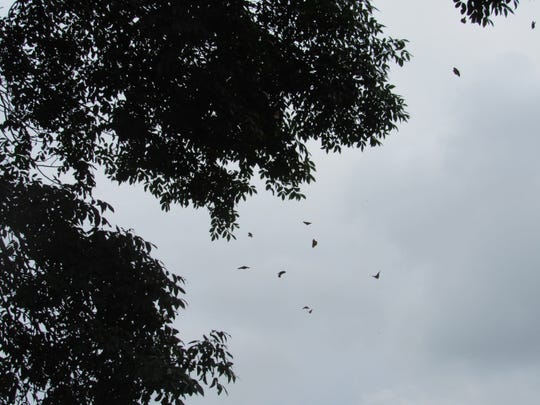 Monarch butterflies flutter high in the trees on author Susan Manzke's farm.