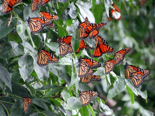 Migrating Monarch butterflies cluster among the greenery as they prepare to head south.