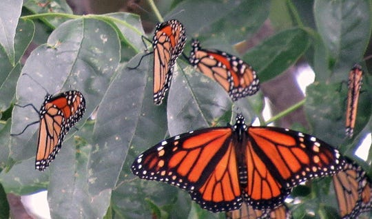 Research shows that it may take as many as five generations for monarchs to make it north out of Mexico, venturing as far as southern Canada, before returning and flying back south of the border for the winter.