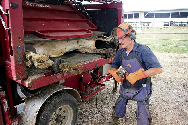 In this Aug. 16, 2018 photo, Gary Buchholz works on a set of cow hooves at a farm in Harbor Beach, Mich., Aug. 16, 2018. Buchholz has been in the business of caring for the hooves of area cows for 26 years.