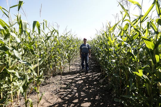Dave Meuer of Meuer Farm stands in his corn maze Tuesday. The corn maze season begins this weekend at the farm near Chilton and runs through Oct. 28.