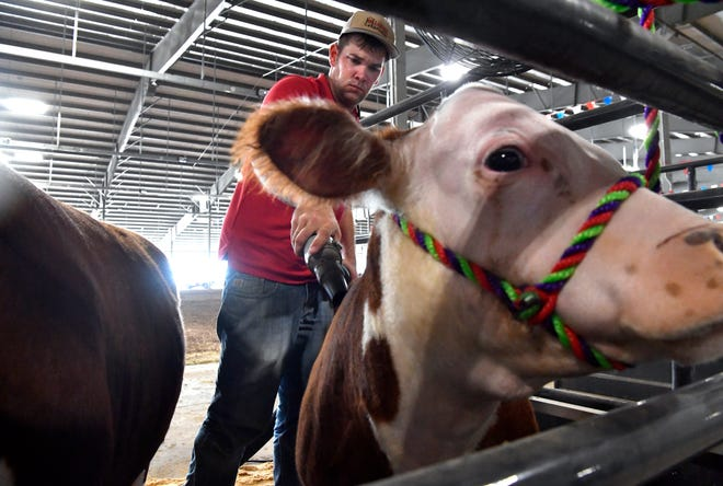 Braden Roach of Weatherford uses a blow dryer on his mini-Hereford cattle Tuesday in the new livestock barn at the Taylor County Expo Center.
