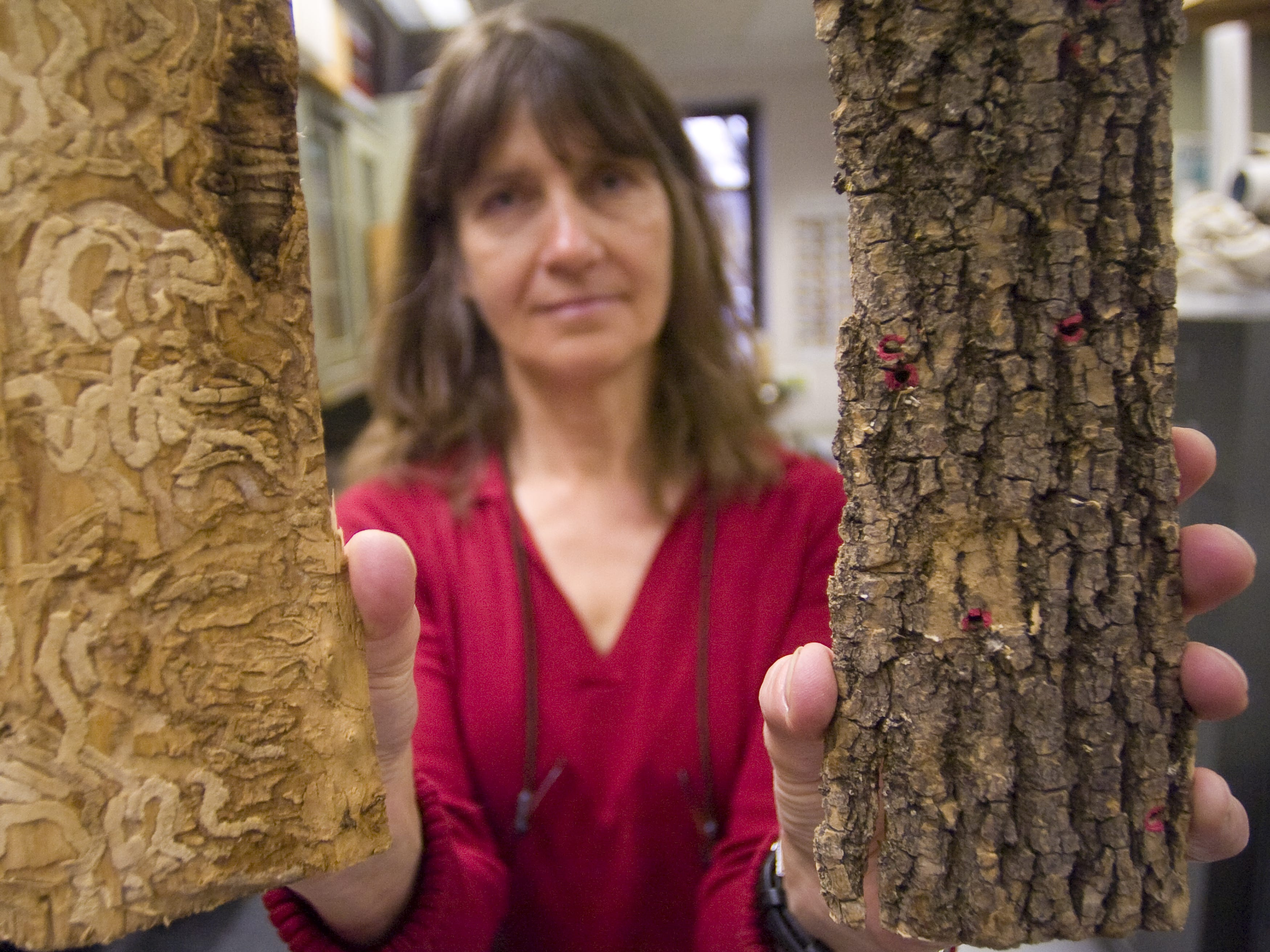 """Trish Hanson, a forest entomologist for the Vermont Department of Forests, Parks and Recreation, holds up samples of ash wood (bark, right; interior """"galleries"""" at left), each with telltale signs of emerald ash borer damage, on April 13, 2011."""