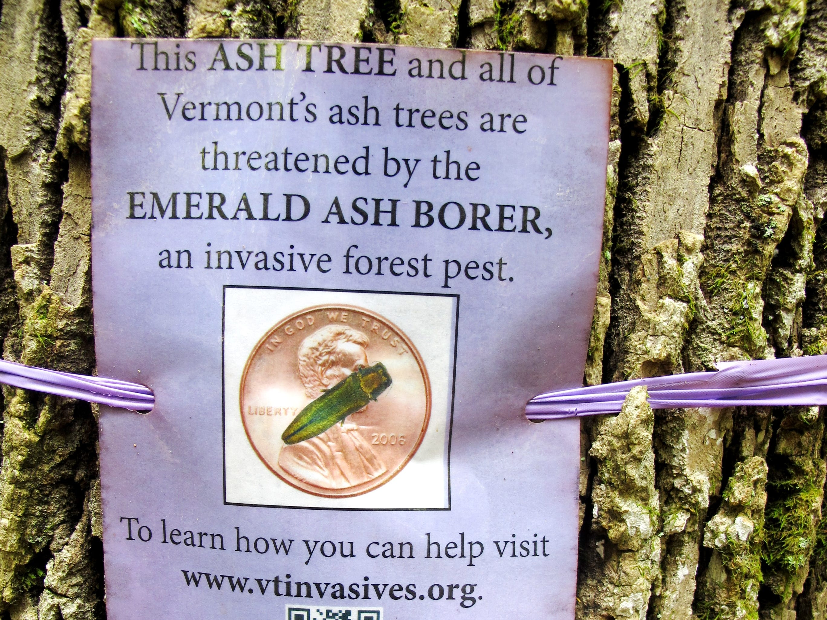 A sign affixed to an ash tree in Niquette Bay State Park in mid-September alerts passers by to a vulnerable forest species.