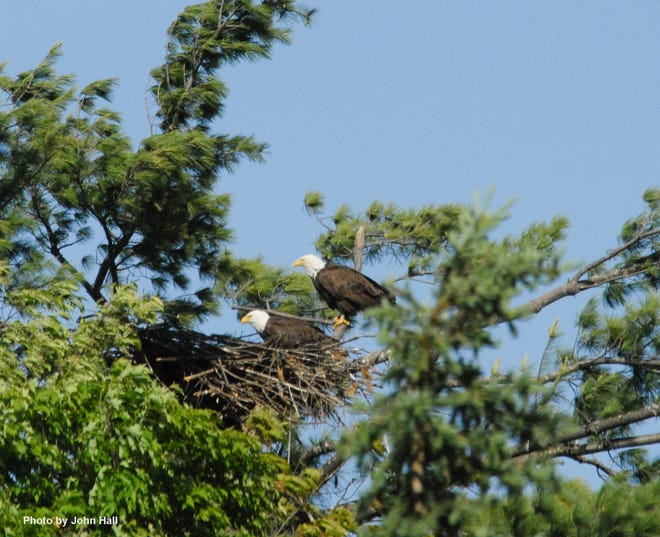 The bald eagle is a state-endangered species in Vermont.