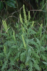 Ragweed flower spikes are a problem for many.