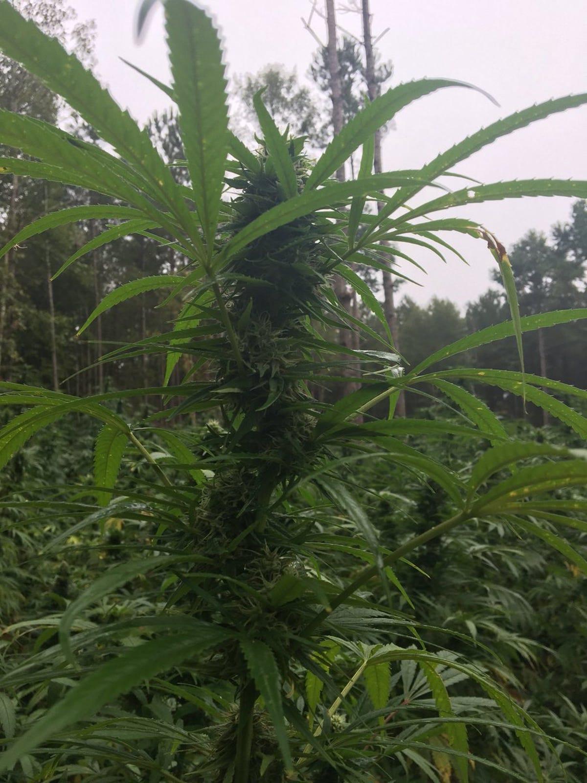 Big pot find: Drug agents make 70M bust in Jeff Davis County
