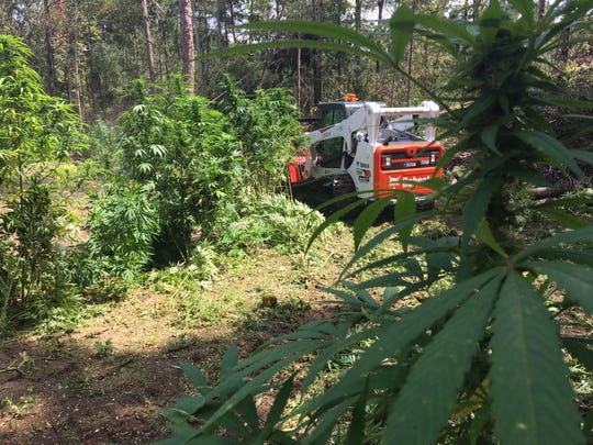 Marijuana plants, some as high as 8 feet, were discovered Monday and Tuesday, Sept. 11, 2018, in Jefferson Davis County. Irrigation systems and electricity also were found running through the fields, as well as areas to wash clothes and sleep. It's unclear how many people may have been running the operation.