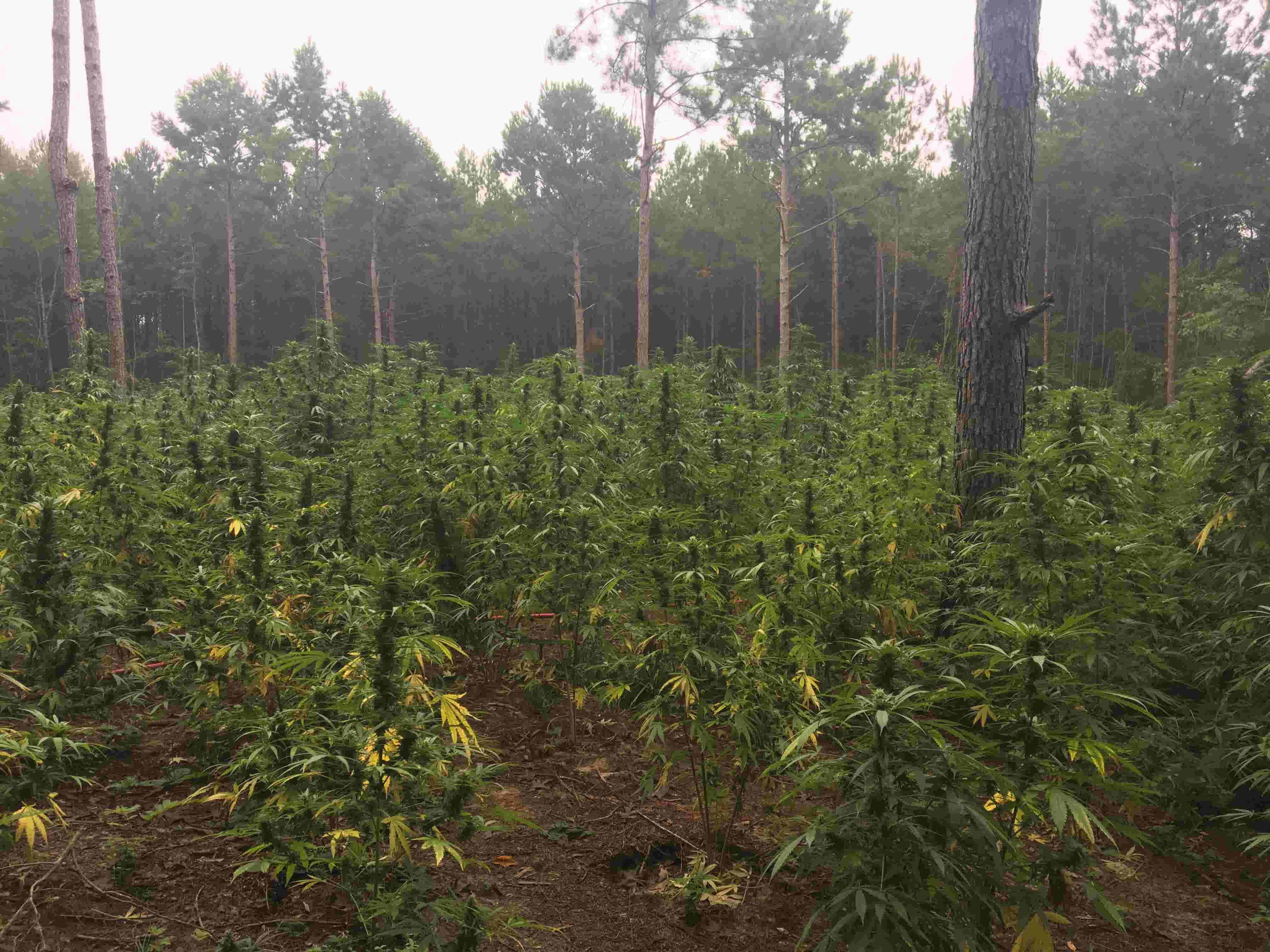 Around 70,000 marijuana plants found in pot grow in south Mississippi