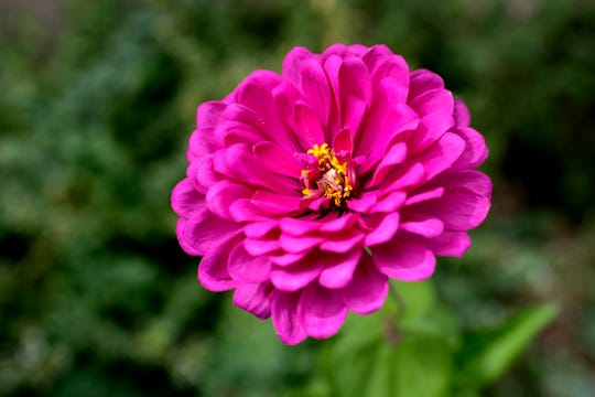 Zinnia flowers are a part of Billie Piazza's alternative lawn landscape at her home on Friday, Sept. 7, 2018, in Lansing.