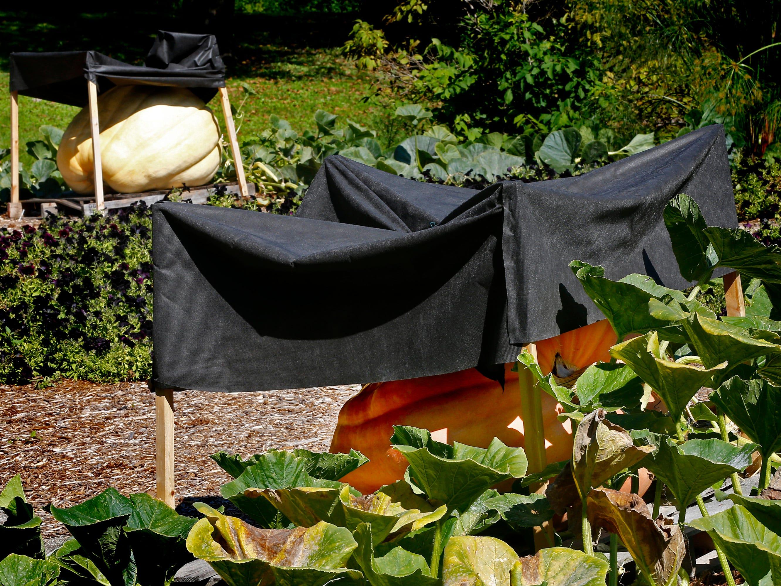 Six giant pumpkins grow beneath sun shades in a park garden east of Broad Street in Greendale.