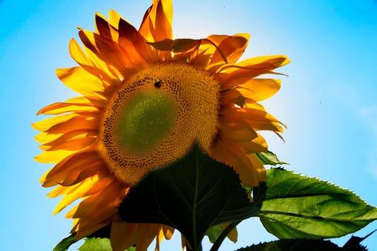 Giant Sunflowers Pumpkins Growing In Greendale