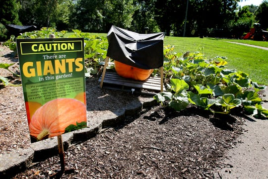 Six giant pumpkins grow beneath sun shades in a park garden east of Broad Street in Greendale.