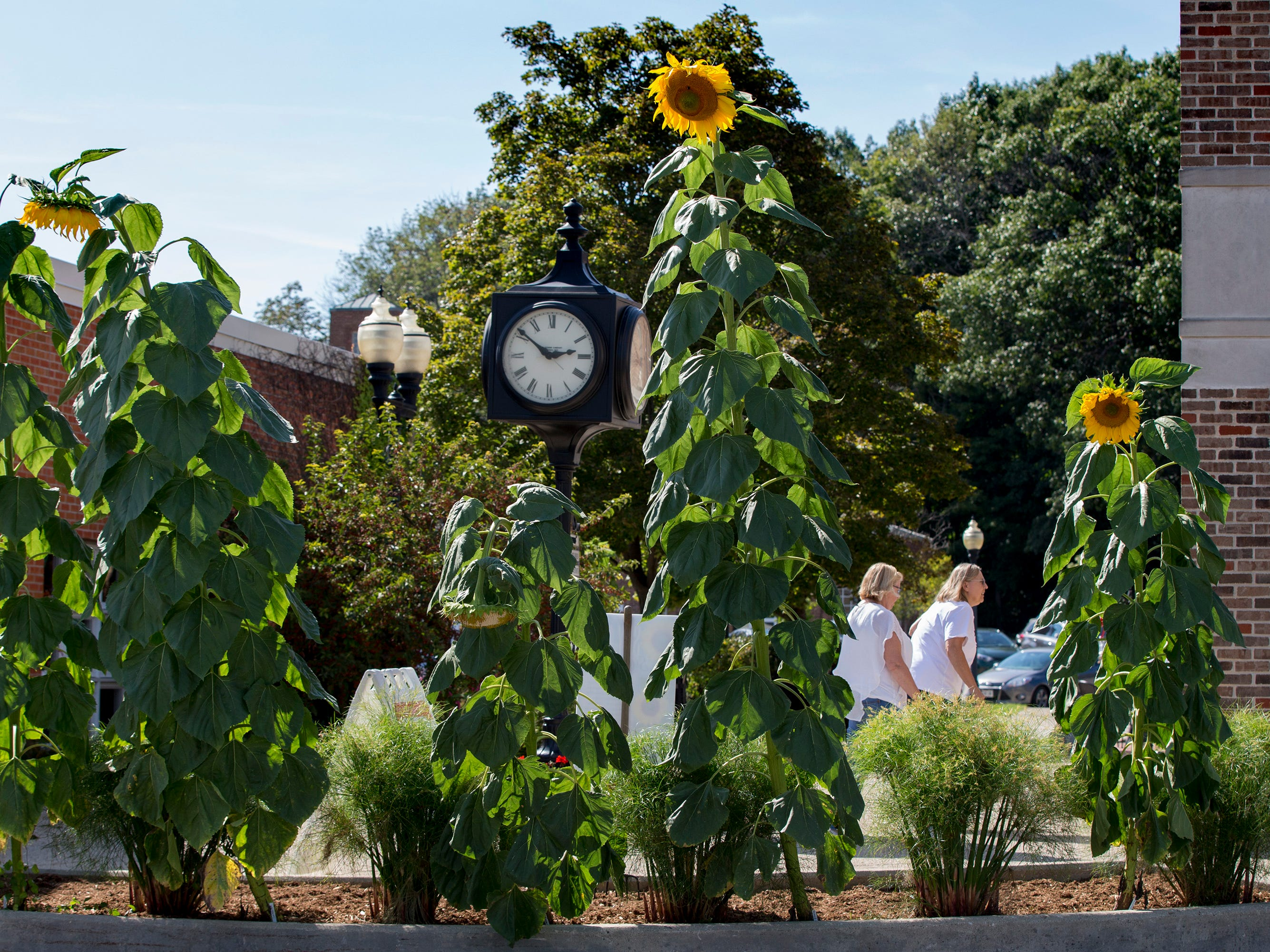Customers walk past one of the three mammoth Russian sunflowers patches growing along Broad Street in Greendale.