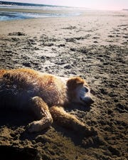 Nothing's better than a romp in the water followed by a nice nap on the warm sand. Just ask Harleigh.