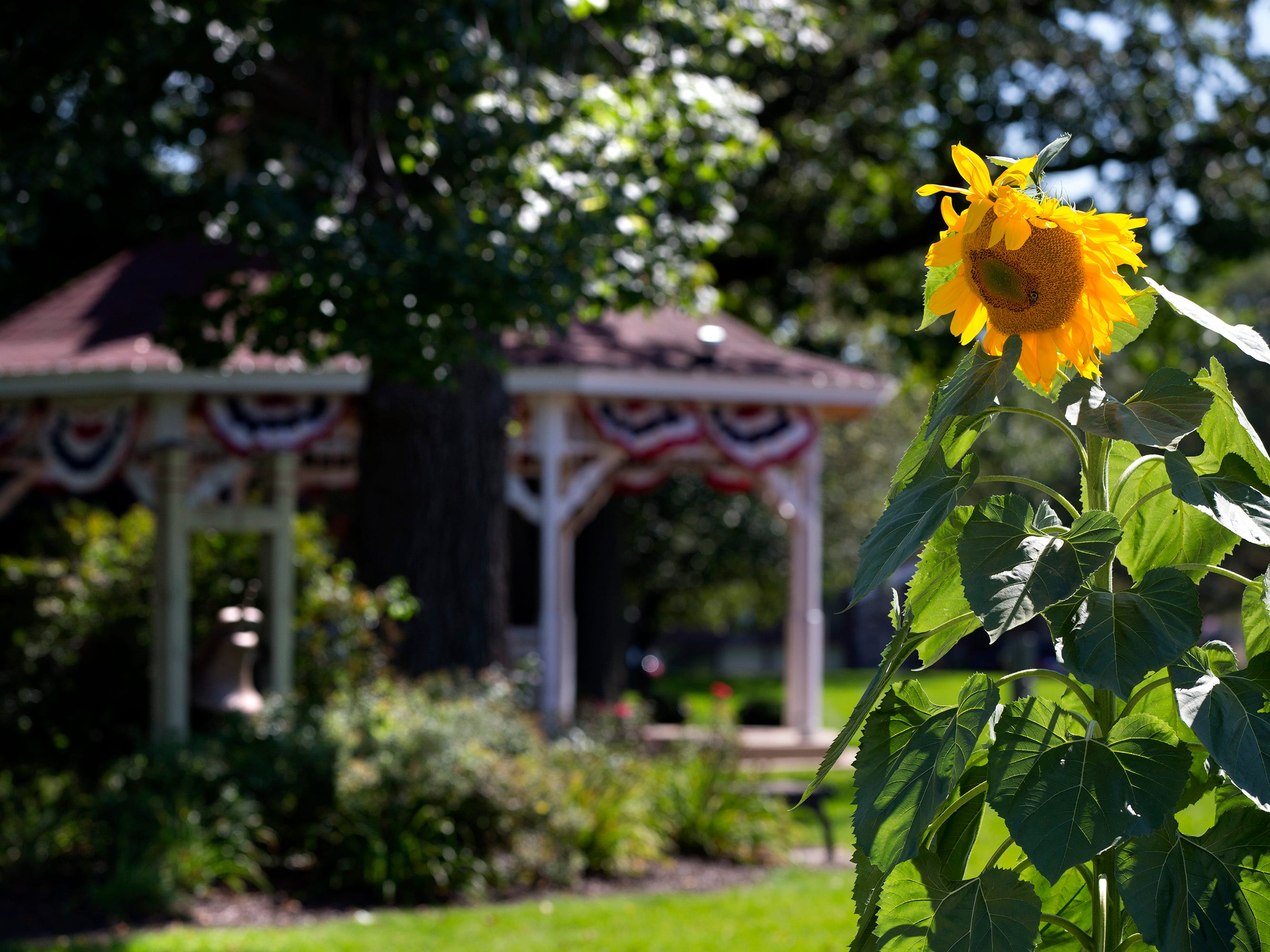 A bee dines on one of the mammoth Russian sunflowers growing in three different locations along Broad Street in Greendale.
