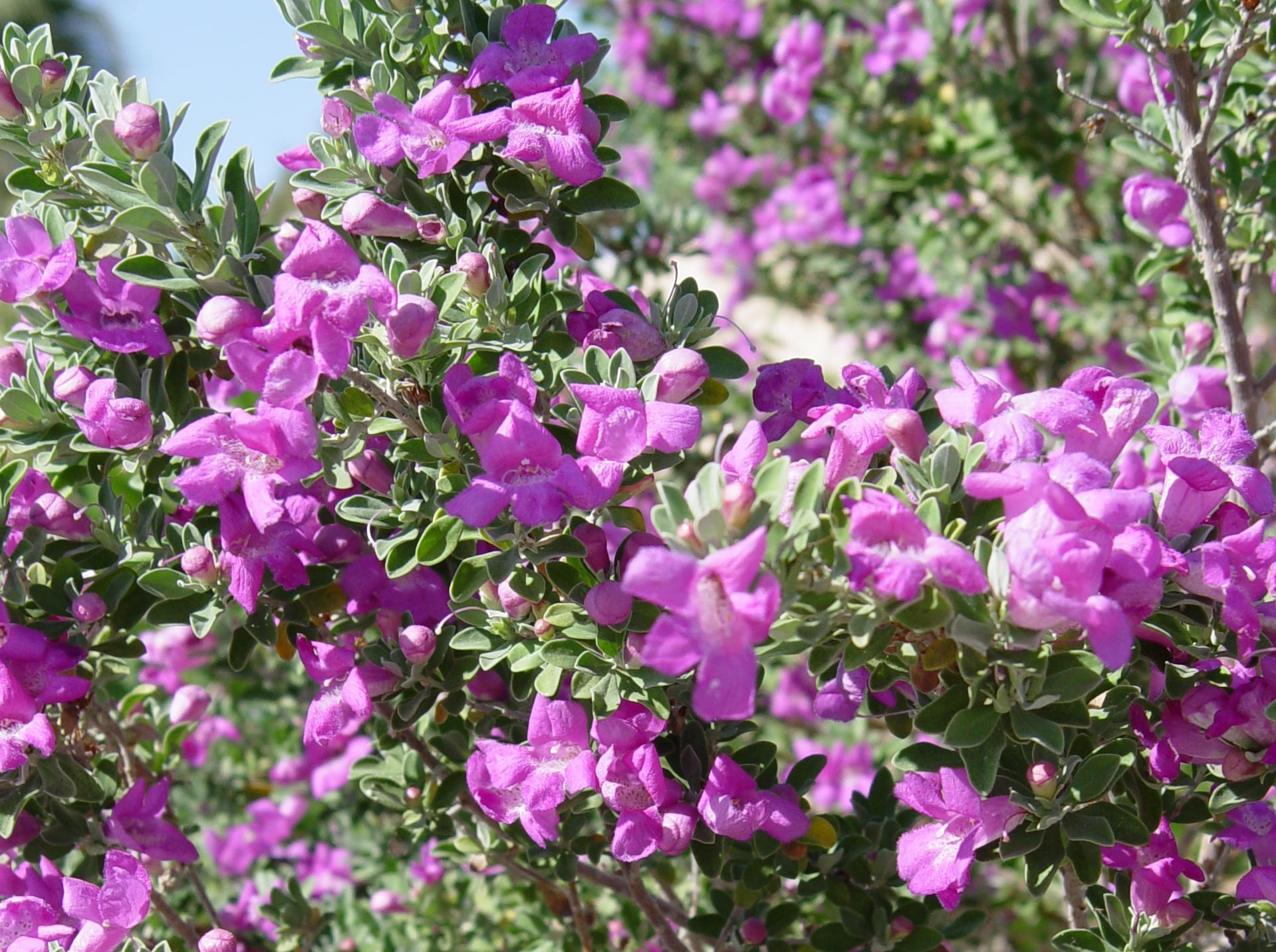 Texas sage: The small varieties with different size, leaves and flower colors.