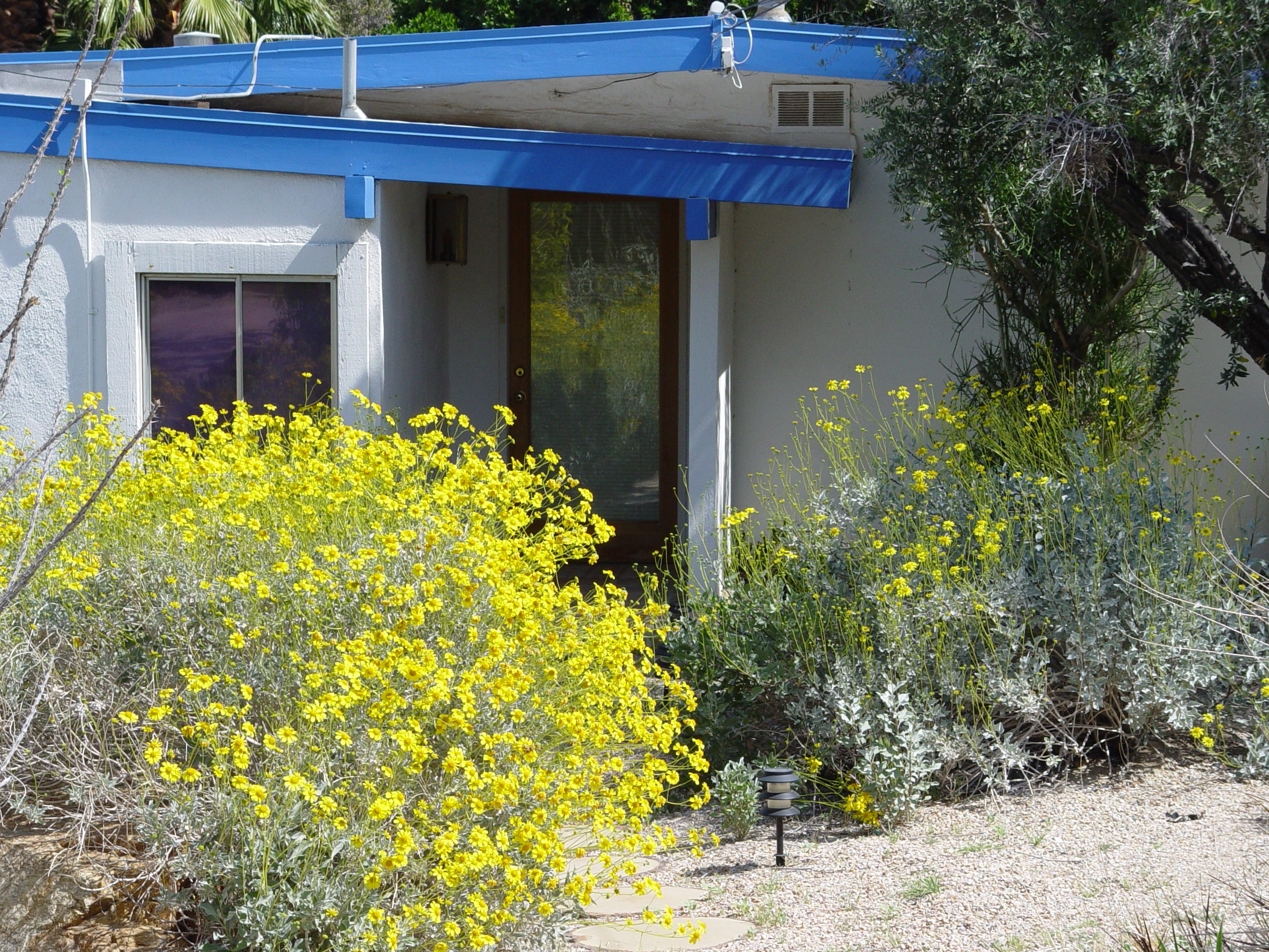 Our local brittlebush makes a silver and gold combination.