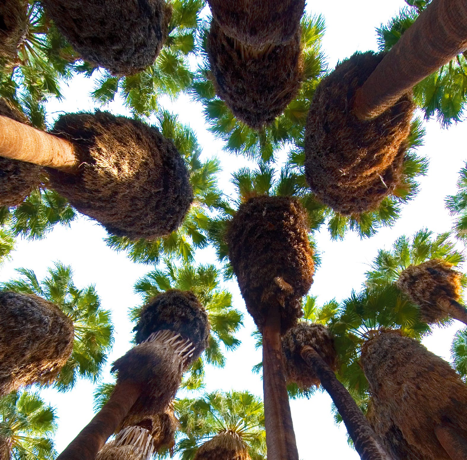 How did palm oases get to the California desert? A behind-the-scenes look at these 'tropical islands'