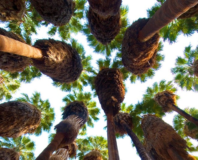 Cathedral grove in Palm Canyon