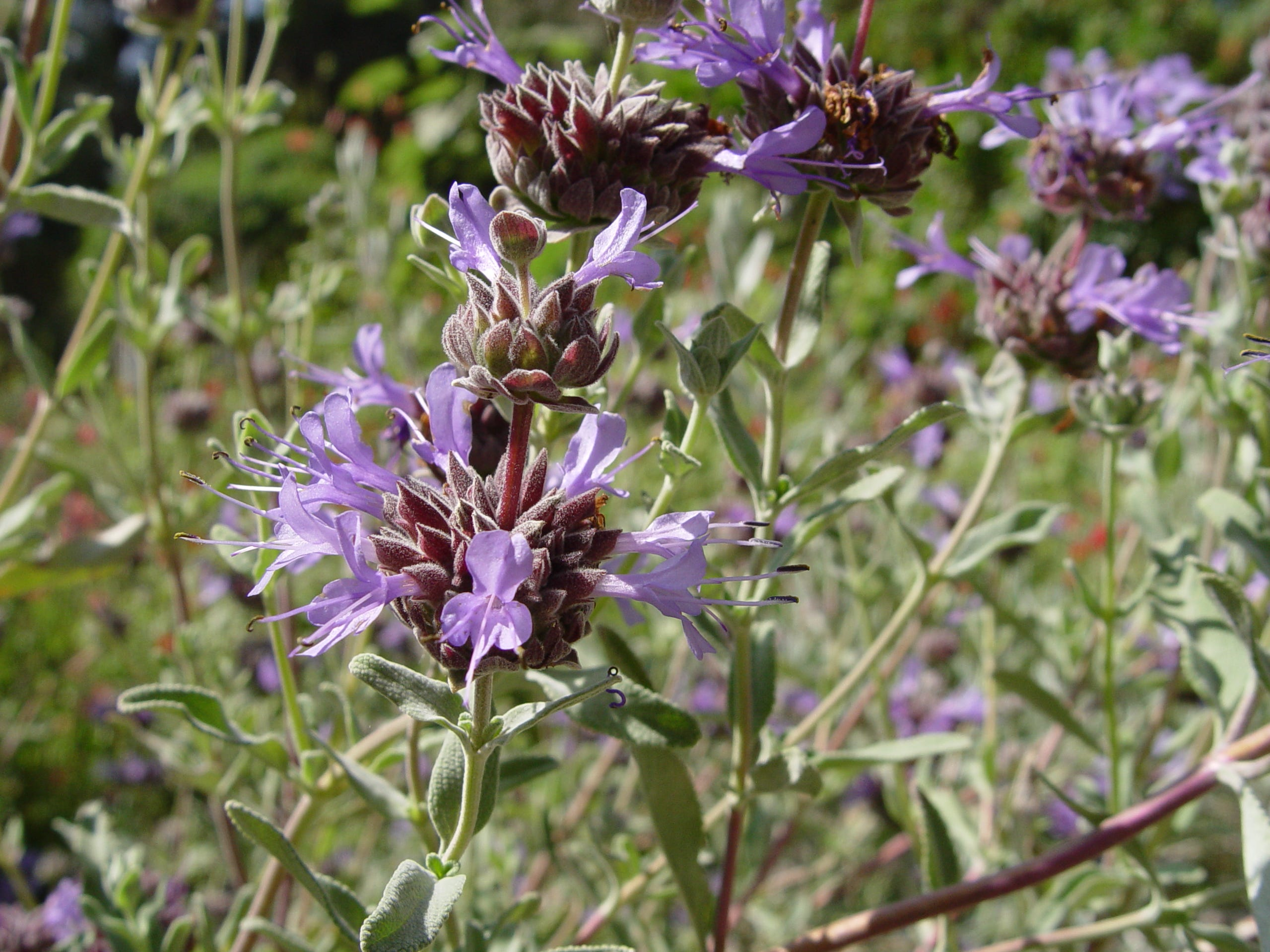 Try Cleveland sage for a great dryland-cutting flower.