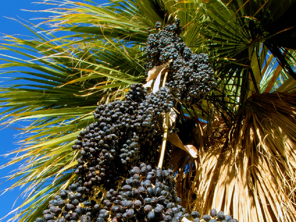 Palm fruits ripen in fall.