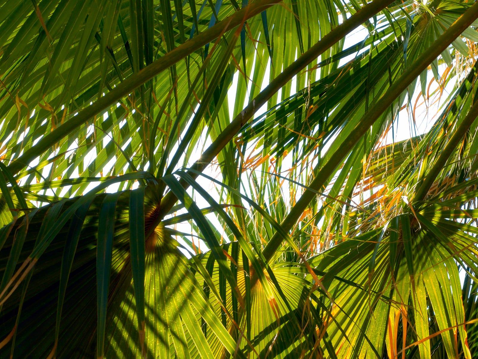 Desert fan palm fronds