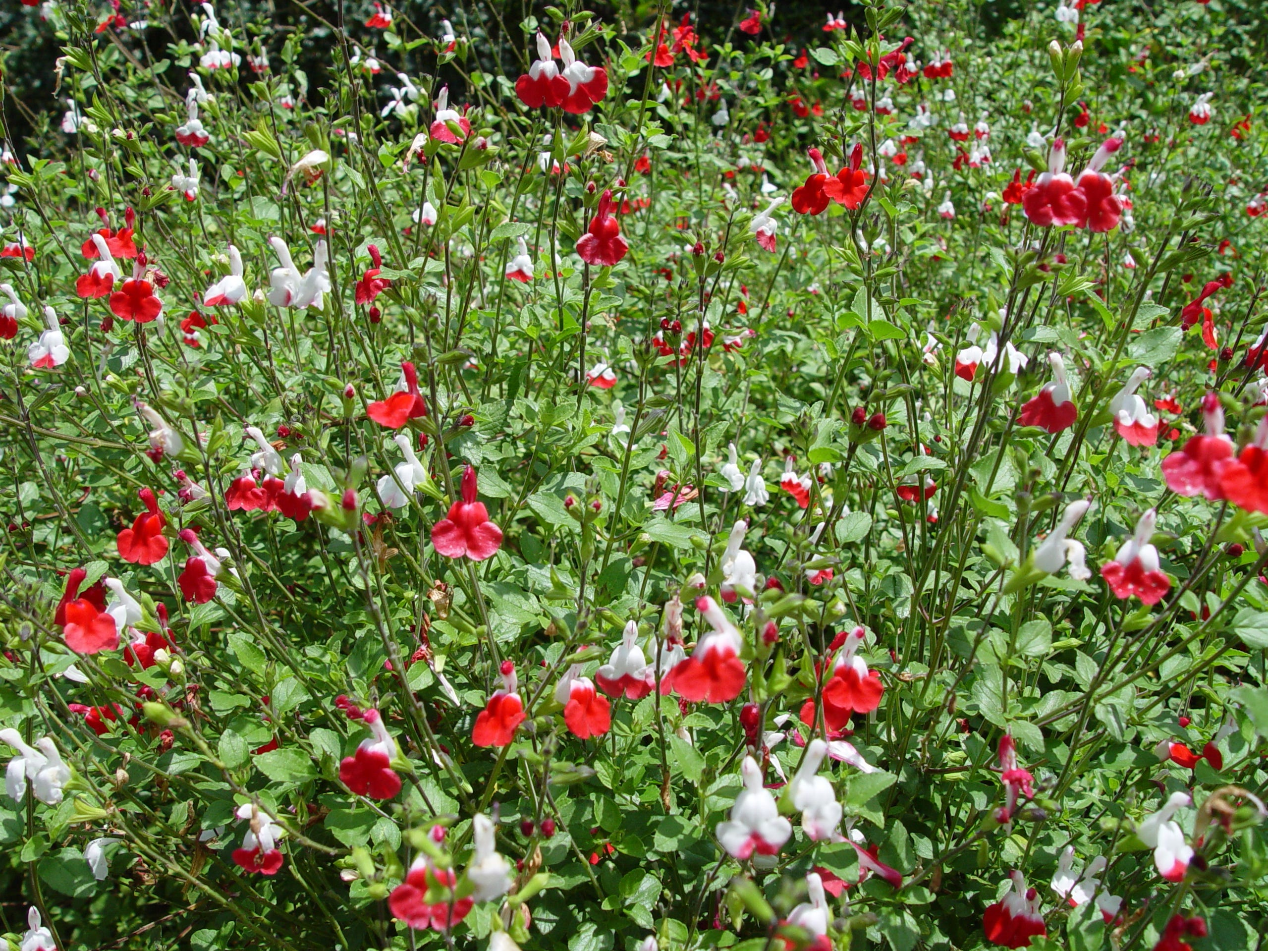 With so many different colored hybrids, the original red Salvia greggii has expanded beyond the native.