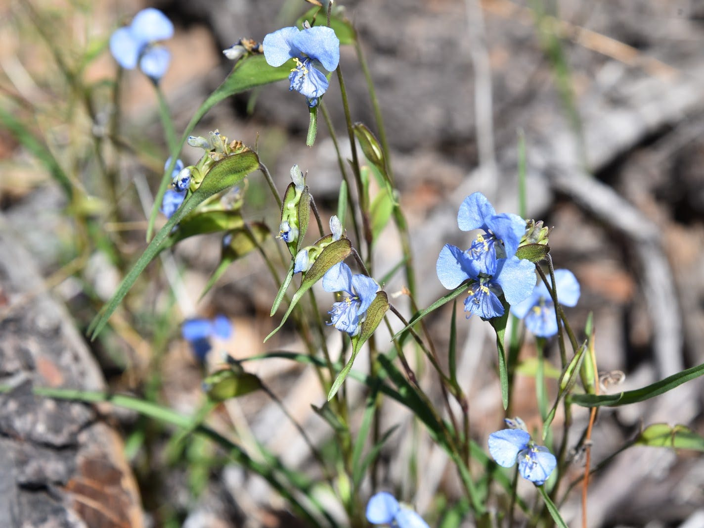 Western dayflowers bloom through September near Sheep Creek Point.