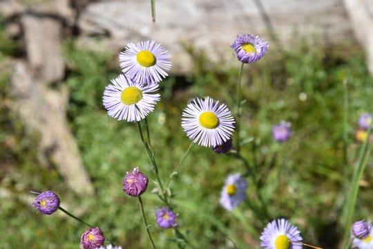 Aspen fleabane bloom through October.