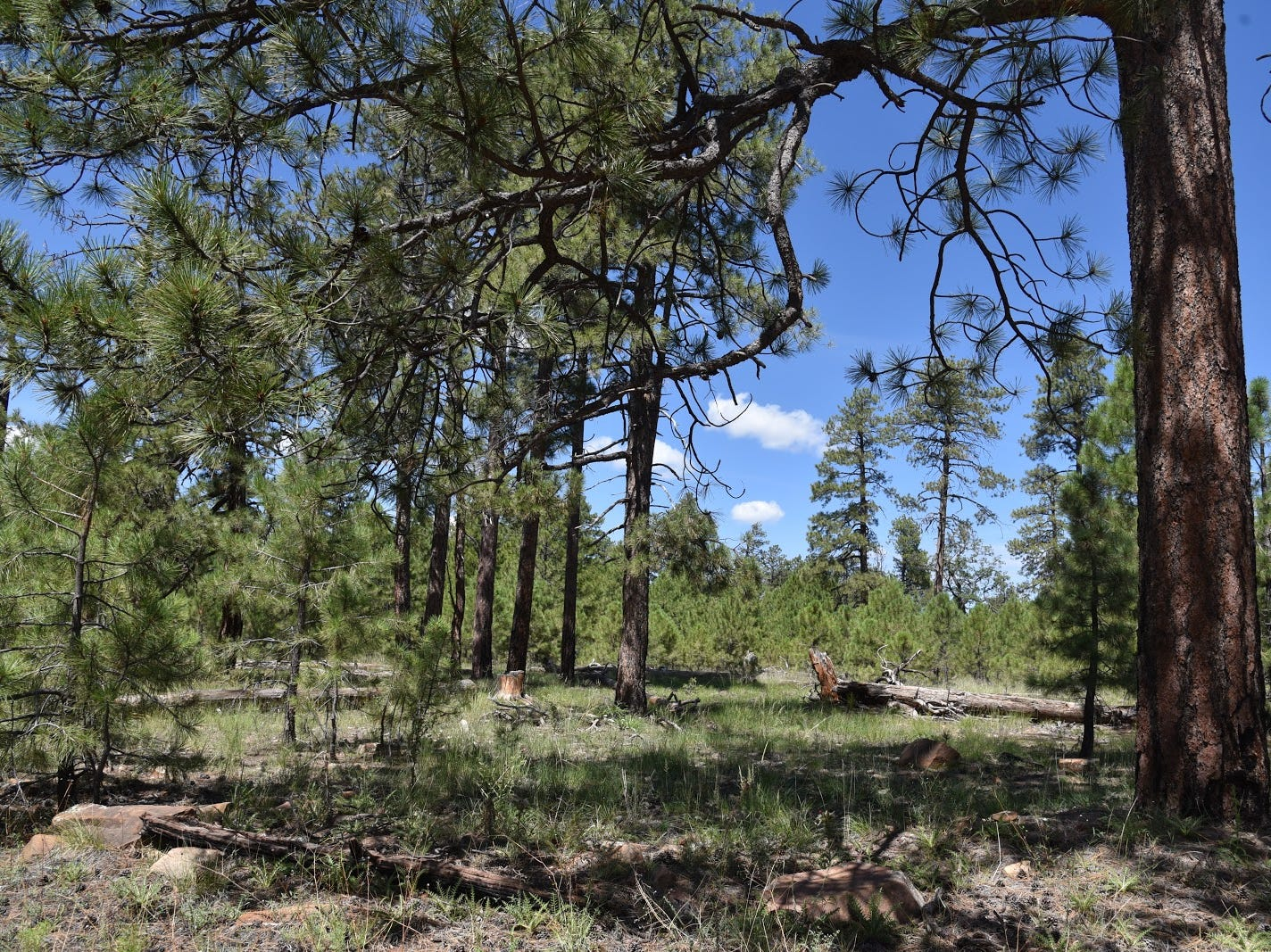 Ponderosa pines dominate the forests that flank Merzville Road.