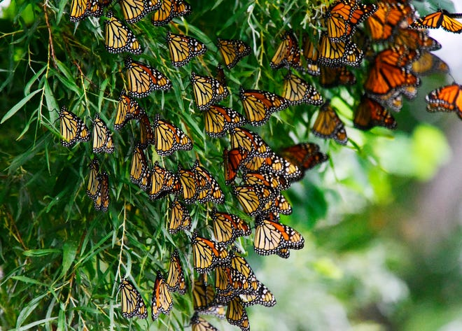 Monarch butterflies wait out the cold, windy and wet weather at Ottawa National Wildlife Refuge before flying south to Mexico for their annual migration.
