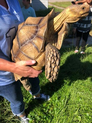 If you happen to own this tortoise on the lamb, callcentral dispatch at (810) 987-1744.