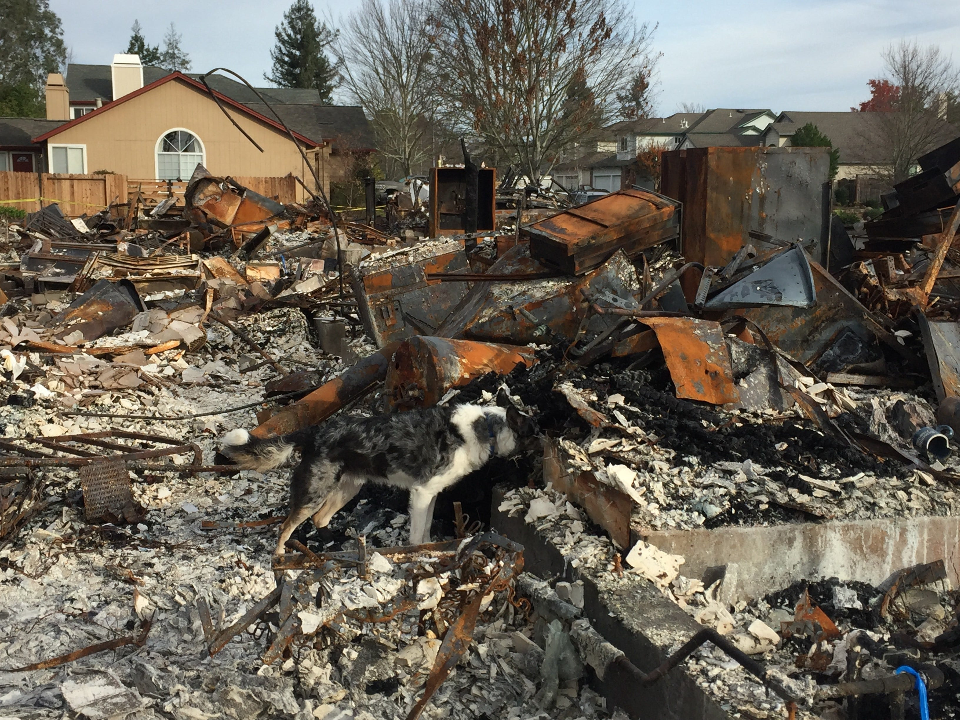 "Forensic search dog ""Jasper"" searches burned building debris in Santa Rosa for cremains."