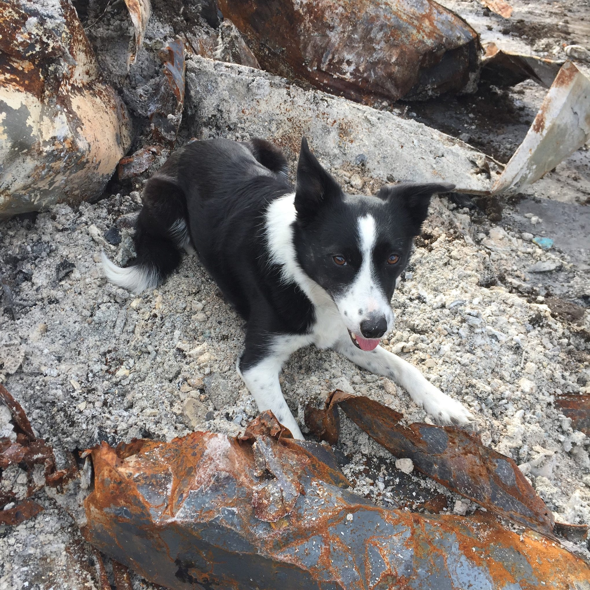 These dogs are coming to Redding to search for human ashes among Carr Fire ashes
