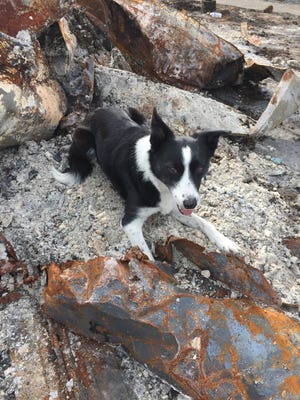 "Dog ""Piper"" gives an alert after finding cremated human remains. It took her 30 seconds to find them in this burned home site in Santa Rosa."